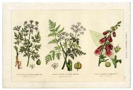 1895 Antique Print POISONOUS PLANTS Foxglove HEMLOCK Digitalis FOOLS PARSLEY Botanical Victorian